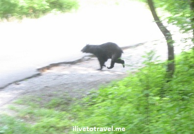 Bear crossing road in the Great Smoky Mountain National Park