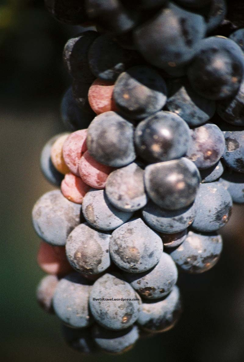 The grapes that yield a delicious Bordeaux...
