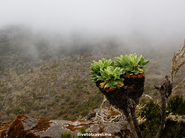 Plant in the moorlands terrain of Kilimanjaro with fog behind it
