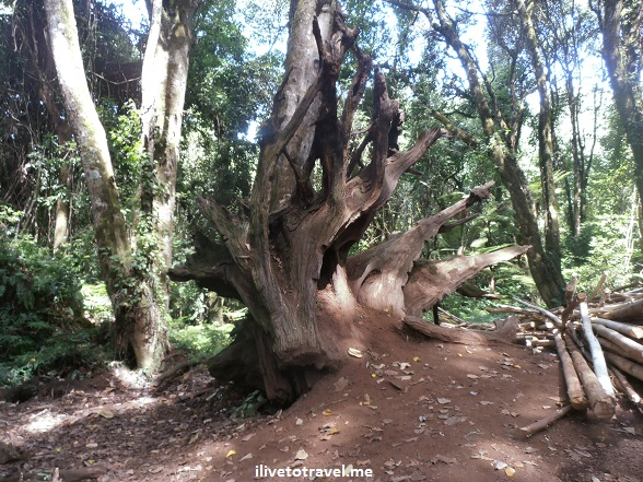 Uproote tree in the Mweka Route on Kilimanjaro, Tanzania